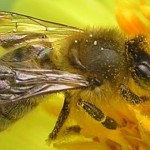 Death of the Bees. Genetically Modified Crops and the Decline of Bee Colonies in North America – Brit Amos / Vanishing Of The Bees: Documentary