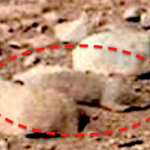 MARTIAN GROUND SQUIRREL PHOTOGRAPHED BY NASA: Rodent Guinea Pig Photographed on Mars