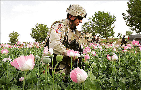 Image result for picture of afghanistan opium fields